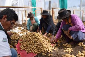 Agricultores logran producir semilla certificada de papa con asistencia técnica del INIA