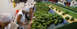 Agroexportación es la mayor generadora de empleo formal en La Libertad