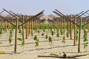 Agroindustriales instalarán cuatro mil hectáreas  nuevas en Olmos este año