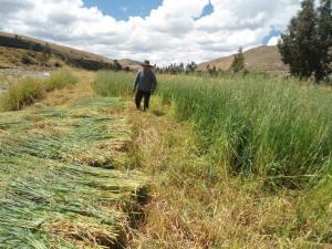 AgroRural: campaña de siembra de pastos en Junín avanza al 80%