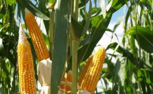 Al cierre de 2018 existían 191.8 millones de hectáreas de cultivos biotecnológicos en el mundo, casi 2 millones más que en 2017