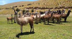 Algunas regiones ya realizan reconversión productiva natural de alpacas por llamas