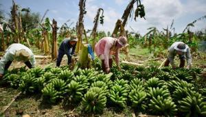 Amazonas apunta a incluir en su oferta exportable el banano orgánico con valor agregado