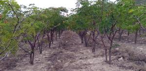 Áncash: guano de isla será usado por primera vez para la producción de plantones de tara