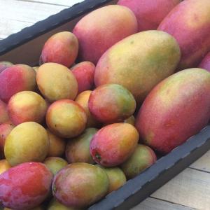 APEM reevalúa proyección de exportaciones de mango fresco por parte de Perú para la presente campaña