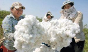 Área de algodón para la campaña 2020/2021 disminuiría en 8 mil hectáreas en nuestro país