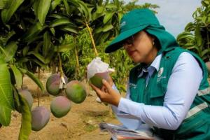 Áreas de mango en Áncash se incrementaron 227% en dos años