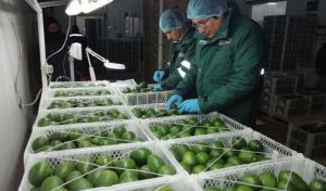 Arequipa: 70% de palta para exportar no salió del país por cierre de fronteras