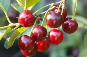 Arequipa y Trujillo presentarían condiciones agroclimáticas propicias para siembra de cereza