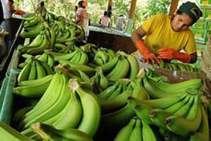 Argentina: piden prohibir la importación de bananas de Bolivia