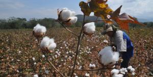 Aseguran financiamiento para la campaña de algodón 2020