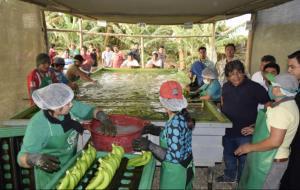 Asociación de La Libertad exporta un promedio de 30 mil kilos de banano orgánico a la semana