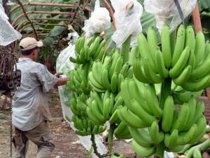 ASPRAOSRA exporta cinco contenedores de banano semanalmente