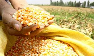 Avícolas quieren comprar maíz amarillo duro nacional al precio del importado que llega  subsidiado