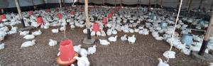 Avicultura en tiempos de coronavirus: situación actual y perspectivas