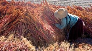 Ayacucho: implementan ocho centros de acopio de quinua