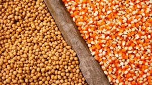 Bajan las perspectivas para las cosechas de maíz y soja en Estados Unidos