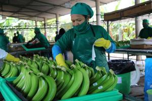 Bananeros orgánicos solidarios de Salitral proyectan exportar 8.163.000 kilos de banano este año