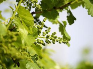 BOSCAPYR eficaz fungicida contra el oidium en uva de mesa