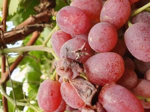 Botrytis en uva: causas y alternativas de control