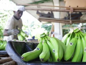 Brasil lanza al mercado nueva variedad de banana resistente a las plagas