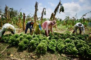 Cadena de banano orgánico peruano está golpeada por sobrecostos de la pandemia e incertidumbre sobre ley agraria