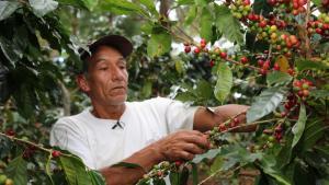 Cafetaleros contarán con mayor plazo para cancelar deudas contraídas en el Plan Nacional de Renovación de Cafetales