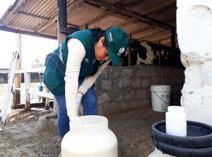 Cajamarca: monitorean presencia de contaminantes en leche fresca