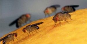 Cajamarca: pequeños productores son beneficiados con proyecto de erradicación de mosca de la fruta