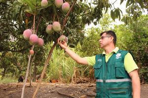 Cajamarca: Senasa monitoreará 18.399 hectáreas frutícolas en Alto Jequetepeque este año