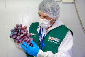 Campaña de exportación de uva de mesa arranca con expectativa
