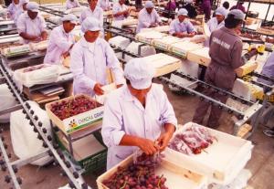 Campaña de exportación de  uva inicia con pie derecho