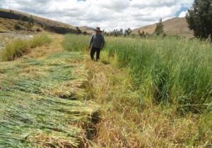 Campaña de siembra de pastos y forrajes beneficiará a más de 10.000 familias de Cajamarca