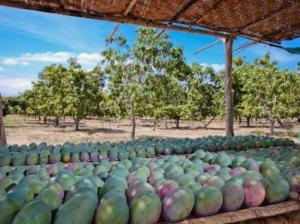 Campaña peruana de mango 2019/2020 podría marcar nuevo record