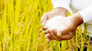 Camposur aumentará en 36% los cultivos de arroz en Arequipa