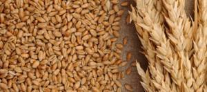Camposur produciría 1.400 toneladas de trigo en la próxima campaña