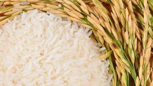 Camposur produciría 25 mil toneladas de arroz en la campaña grande