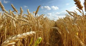 Camposur produciría 2.700 toneladas de trigo este año
