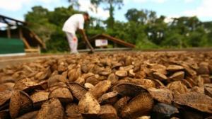 Capacitan a castañeros sobre Ley de Modernización de Inocuidad de Alimentos para evitar rechazos en EE.UU.