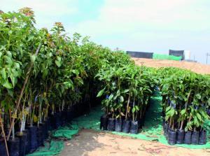 Cayaltí se diversifica con cultivos de paltas, arándanos y estevia