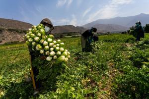 Cerca de 15.000 agricultores son capacitados en buenas prácticas en cosecha