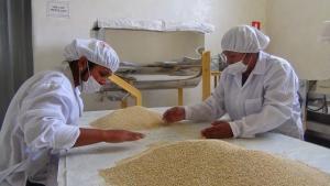 Chile: desarrollan concentrado proteico de quinua como alternativa alimenticia