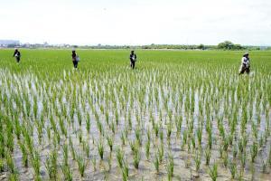 Chile podría ser destino para la sobreproducción peruana de arroz