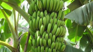 China desarrolló variedad de banano resistente al Fusarium Raza 4