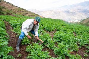 Clientes de Agrobanco que cuenten con seguro agrícola deben reportar sus pérdidas en un plazo no mayor a 10 días
