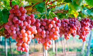 ¿Cómo afecta la guerra comercial los envíos de uva a EE.UU.?