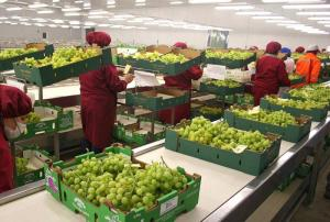 Complejo Agroindustrial Beta exportaría 28.700 toneladas de uva de mesa en la campaña 2020/2021