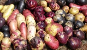 Comunidades de Junín y Huancavelica son protagonistas en la exportación de papas nativas