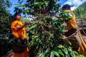 Comunidades nativas de Junín producen café especial bajo sombra en armonía con el ecosistema