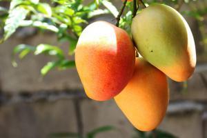 Consumo de mango en Estados Unidos crecería 5% o más este año